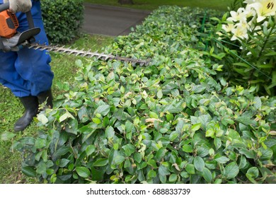 A man trimming shrub with Hedge Trimmer.