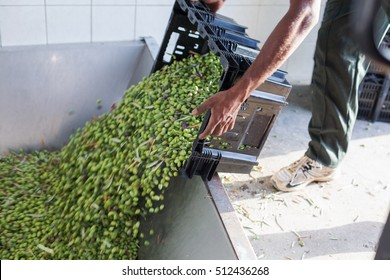 A man turning over a box full of ripe olives at oil factory