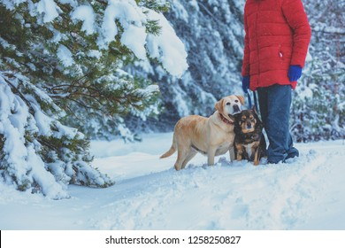 Man with two dogs walking in snowy forest in winter.