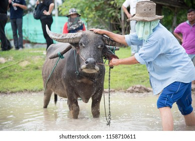 man using the buffalo to plow for rice plant in rainy season, chiang mai thailand, 2016