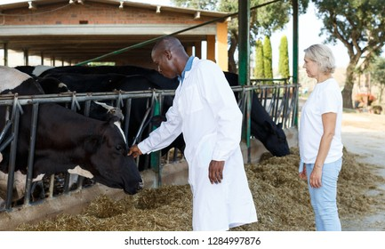Man  veterinary in bathrobe and woman farmer taking cows at the cow farm  outdoor