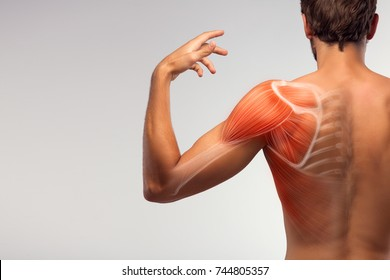 Man view from back. Blades, shoulder and trapezoid illustration.