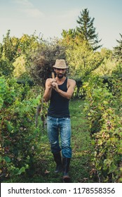 Man in a vineyard collects a hay