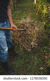 Man in a vineyard collects a hay with hay fork