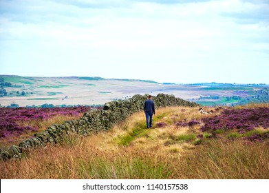 Man walking with dog (back view) in Peak District National Park. England, UK. Beautiful blooming purple heather covering land.