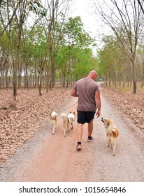 Man walking the dogs in the forest and farm in the morning. Enjoy walkin. Thai dog type is Bang Kaew.