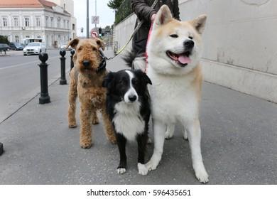 Man walking three dogs on a street