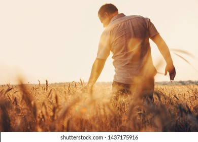 Man walking in wheat during sunset and touching harvest. - Shutterstock ID 1437175916