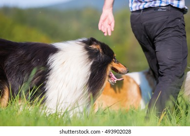 man walks with collie dogs on the meadow
