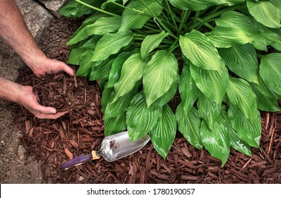 man wearing gardening gloves puts brown wood chip mulch from a bag around hosta plants, spreading with a trowel, for yard landscape fall and spring yard, landscaping, decorative shade plants