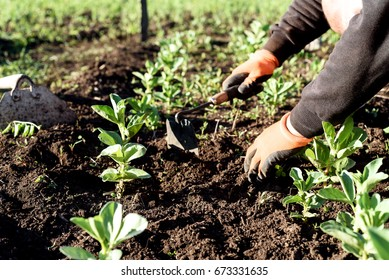 Man wearing gardening gloves weeds the soil with hands and a hand hoe near a broad bean row