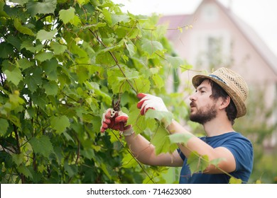 Man wearing gloves and straw hat prune grape brunch with secateur, work on a family farm