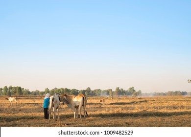 The man and the white cow in the field.