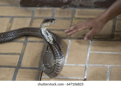 The man who catch cobra snake by bare hand