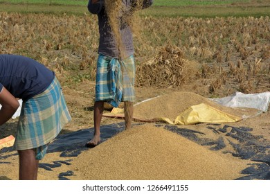 A man winnowing chaff from paddy, rice in a field after harvesting and thrashing paddy