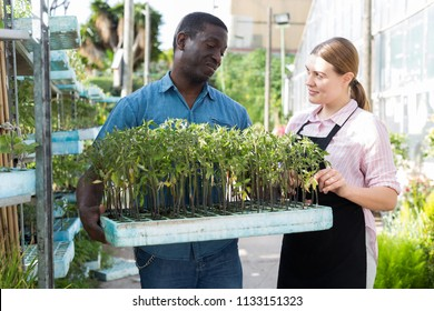 Man and woman gardeners working with seedlings in sunny greenhouse
