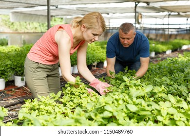 Man and woman horticulturistes   arranging peppermint  seedlings in  hothouse