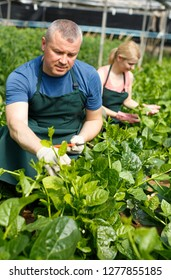 Man and woman horticulturistes   arranging vine spinach in  hothouse