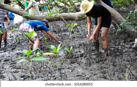 Man and woman are mangrove planting which it is CSR activity  in estuary, Thailand .