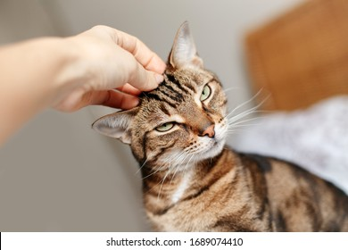 Man woman petting stroking tabby cat by hand. Relationship of owner and domestic feline animal pet. Adorable furry kitten friend enjoying caress. Friendship of human and cat.