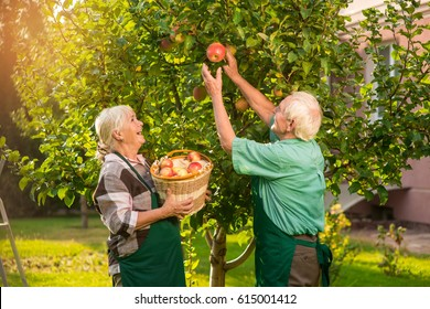 Man and woman picking apples. Lady holding basket near tree. Our rich harvest.