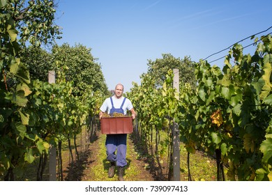 A man work in a vineyard at sunny day.