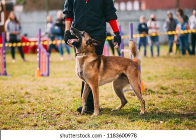 Man Working With A Malinois Dog In Training In Summer Day. Belgian Sheepdog Or Shepherd, Belgium, Chien De Berger Belge Dog