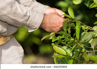 Man working in a yerba mate plantation