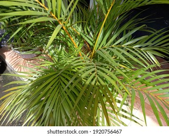 Manado, Indonesia - February 20, 2021: A small palm tree in the terrace