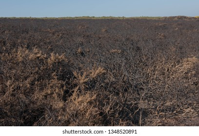 Management of Common Gorse (Ulex europaeus) by Burning on the Cliffs of the South West Coast Path between Portreath and Hayle in Rural Cornwall, England, UK