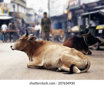 MANALI,INDIA - DECEMBER 31, 2003: A cow resting in the middle of the street, people walking around in Manali, India on 31 December 2003