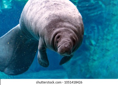 manatee close up portrait underwater