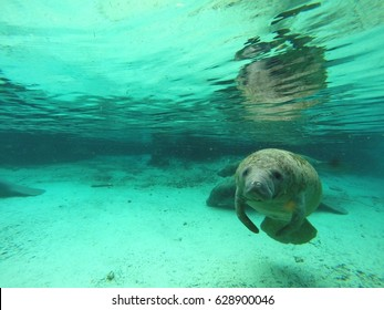 A manatee in Crystal River, Florida