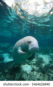 Manatee , Crystal River, Florida ,USA