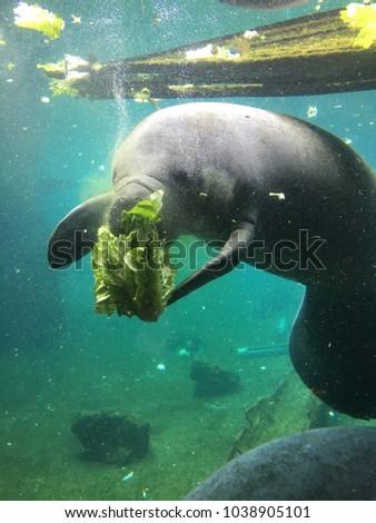 manatee eating romaine lettuce stock photo edit now 1038905101