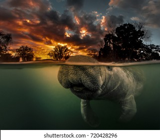 Manatee Morning.  Over-under split photo of Manatee and sunrise.  Photographed in the 3 Sisters Spring in Crystal River Florida.  This Manatee nearly bumped into me when I was shooting this sunrise.