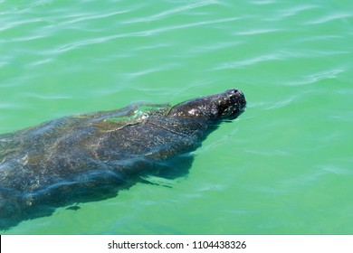 Manatee (Sirenia) swimming in the clear warm water of the Gulf of Mexico near St. Pete Beach, Florida.