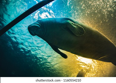 Manatee under water in aquarium