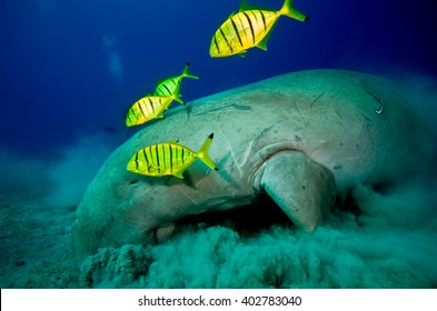 Manatee with yellow fish