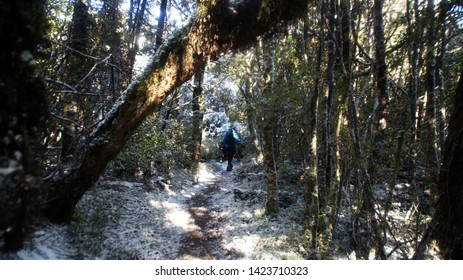 Manawatu-Wanganui, New Zealand - June 3rd 2019.  Tramping in the beech forest at Mt Urchin Track in winter when it covered in snow.