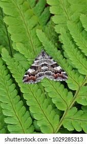 Manchester Treble-bar moth ( Carsia sororiata ) in the family Geometridae. Sitting on the green fern leaves of Bracken