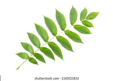 Manchurian walnut (Juglans mandshurica) leaf cut out on white ba