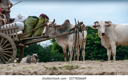 MANDALAY, MYANMAR - NOV 4, 2012 : Oxen on the bank of the Irrawaddy River in the Mandalay area on November 4, 2012. They are used for carts that transport goods from the river to the villages.
