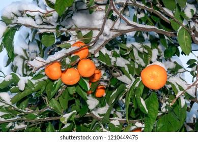 Mandarin (Citrus reticulata) under snow in orchard, Abkhazia