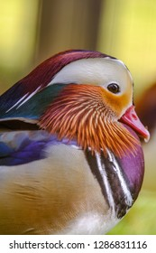Mandarin duck Beautiful colour swimming In the water park Natural way Anatidae Aix galericulata live in Asia
