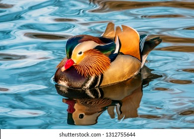 Mandarin Duck in Central Park in winter