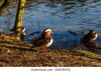 Mandarin Duck, male with femal, Aix galericulata