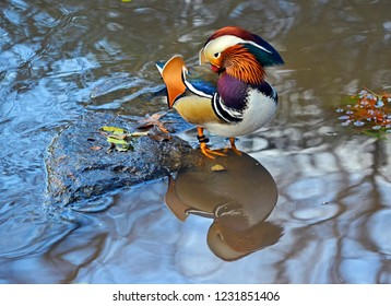 Mandarin duck in pond, Central Park New York, a bird native to East Asia, China and Japan