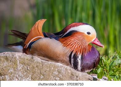 Mandarin duck relaxing