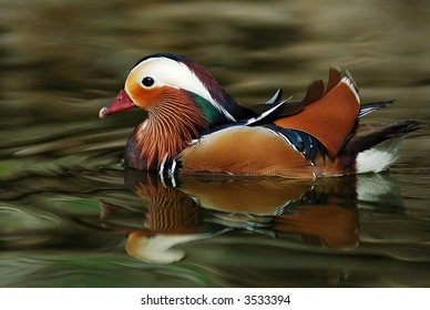 Mandarin Duck swimming in green clear pond